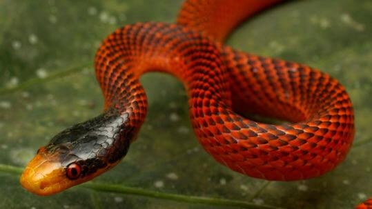 snake amazon