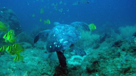 Galapagos Giant turtle