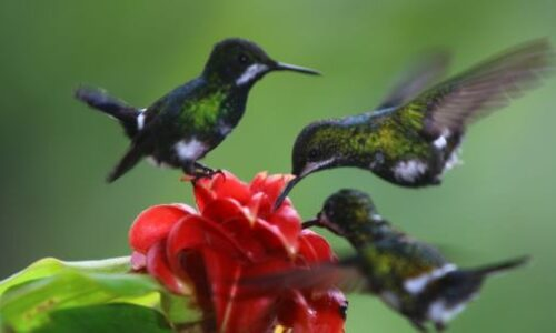 hummingbirds Mindo