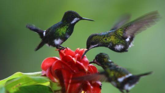 hummingbirds Mindo
