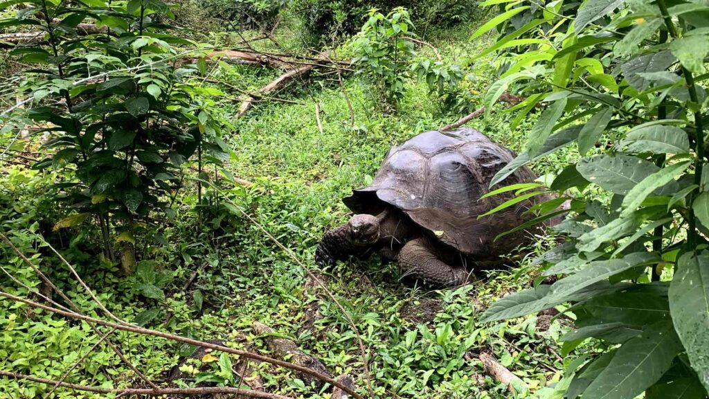 Giant Turtle - Galapagos Islands