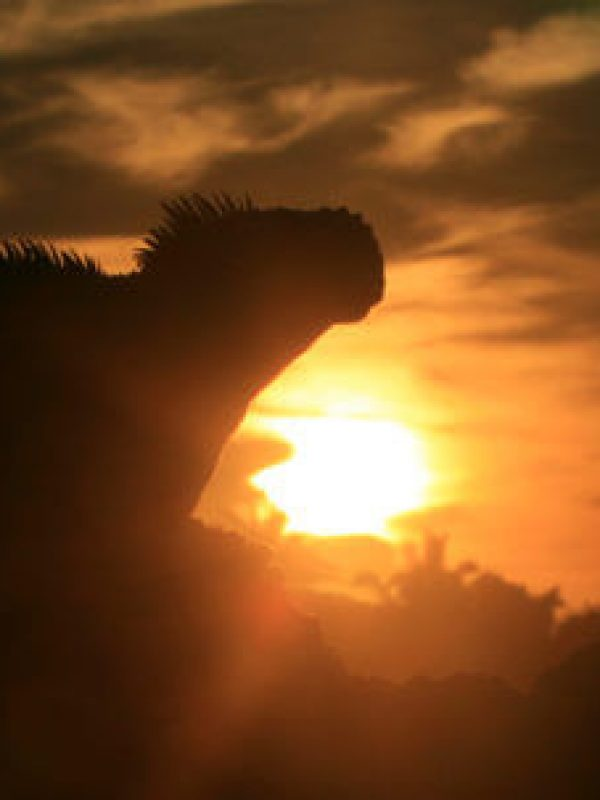 Leguaan Galapagos